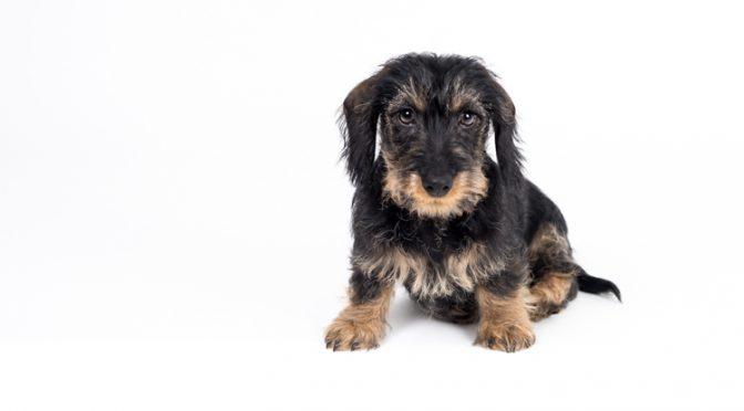 Schiller mein Zwergteckel, Hundemodel im Mini-Fotostudio