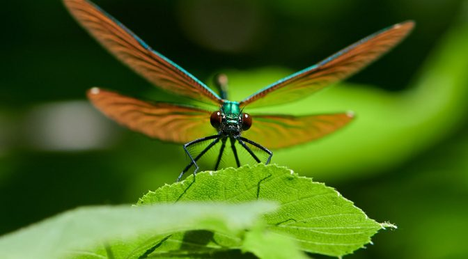 Dragonfly - Libelle